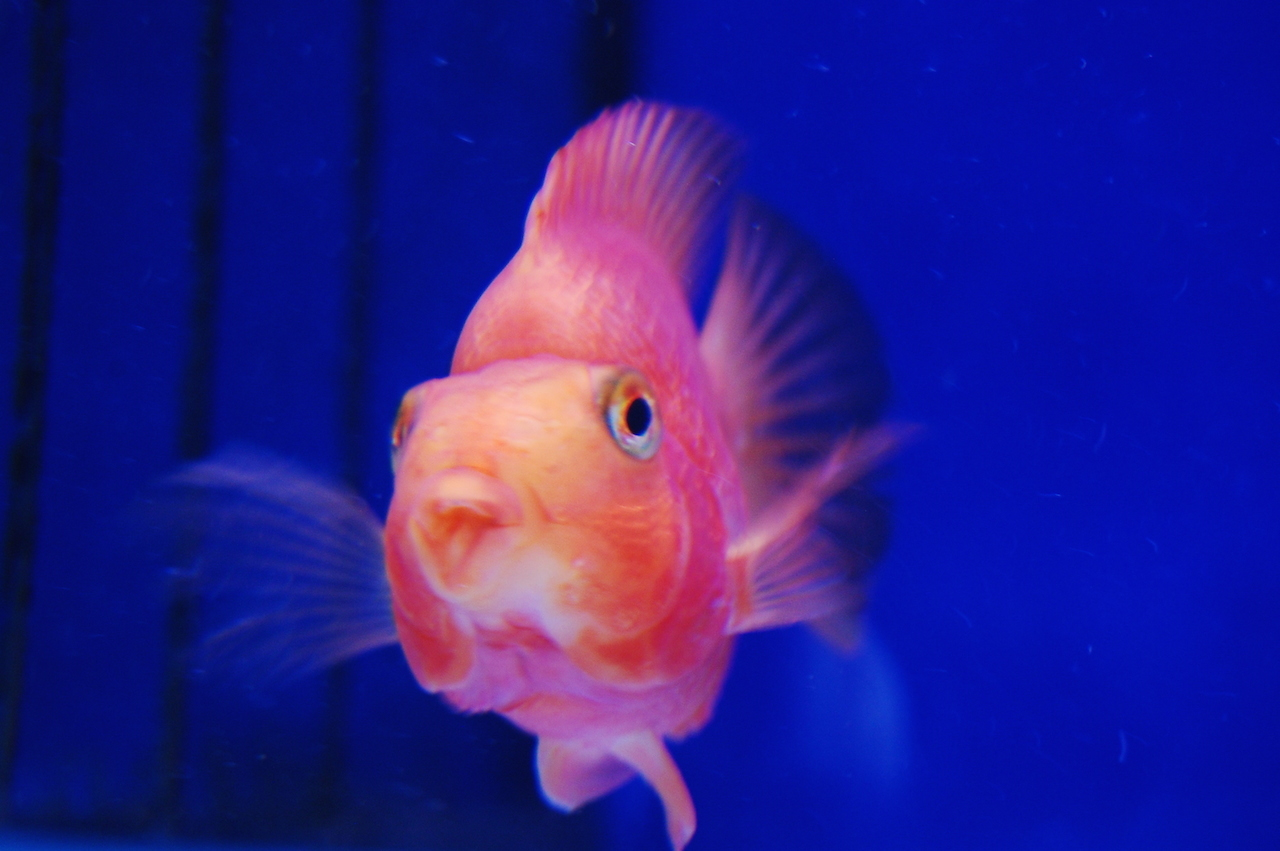 Red parrot fish breeding for Red parrot fish