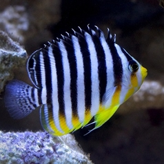 Striped Angelfish