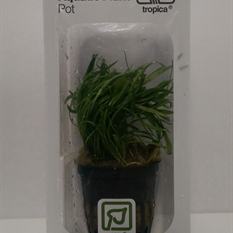Tropica LIVE Pot - Lilaeopsis Brasiliensis Single Pot Package