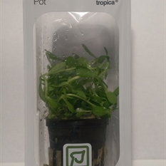 Tropica LIVE Pot - Bacopa 'compact' Single Pot Package